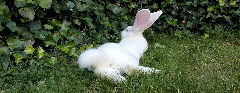 Geslachtsbepaling konijn | Animal Home