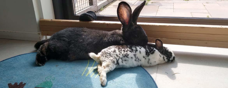 Gezelschap konijn | Animal Home