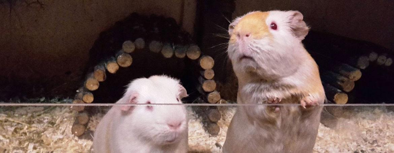 Huisvesting cavia | Animal Home