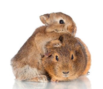 Een konijn en een cavia samen houden is geen goed idee | Animal home