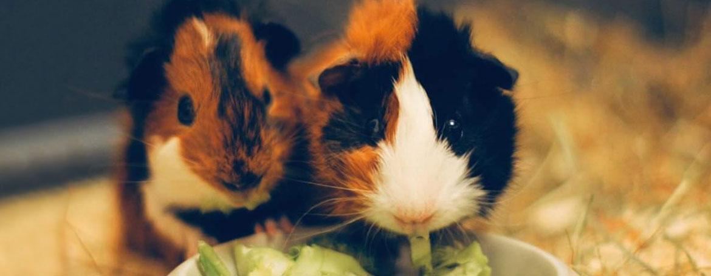 Algemene informatie over cavia's | Animal Home
