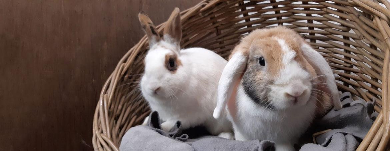 Voortplanting konijnen