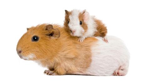 Ziektes bij de cavia | Animal Home