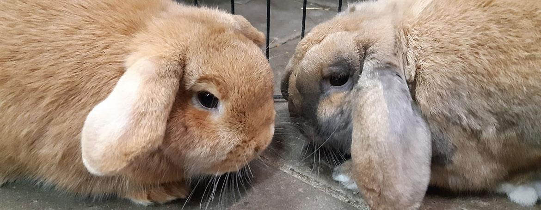 Koppelen konijnen | Animal Home