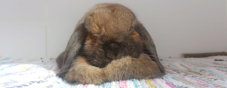 Castreren van de mannetjes konijnen
