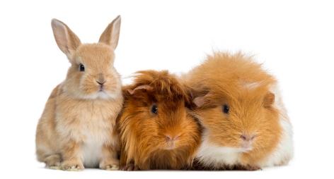 Een konijn of cavia adopteren bij Animal Home