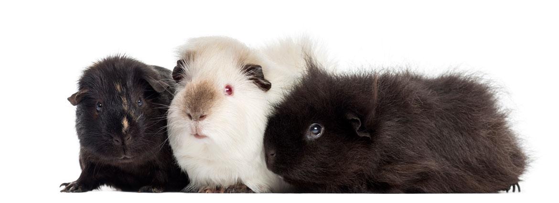 Afstand doen van uw konijn of cavia | Animal Home